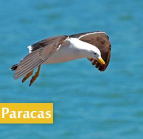 Gaviota en Paracas